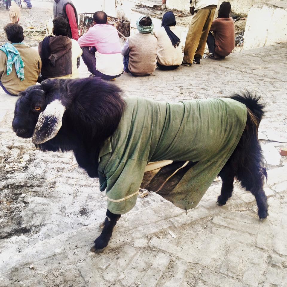 goat in a coat