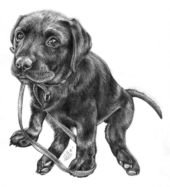 Labrador Puppy Pencil Drawing