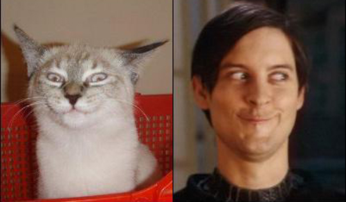 cats who look like famous people 5 Tobey Maguire