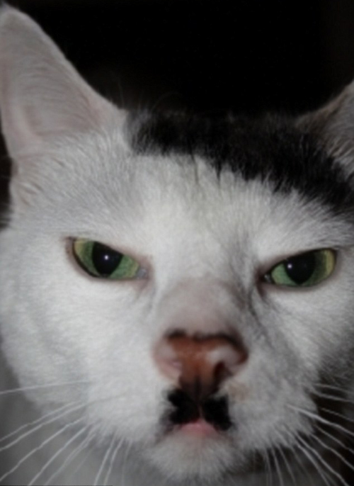 cats who look like famous people 7 Hitler Cat