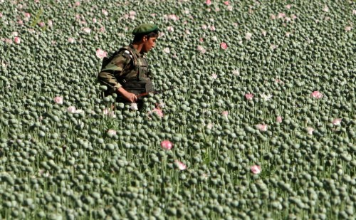 An Afghan Special Forces policeman walks through a poppy field as he searches for Taliban fighters in the village of Sanjaray in Zhari district early April 26, 2008. (REUTERS/Goran Tomasevic)