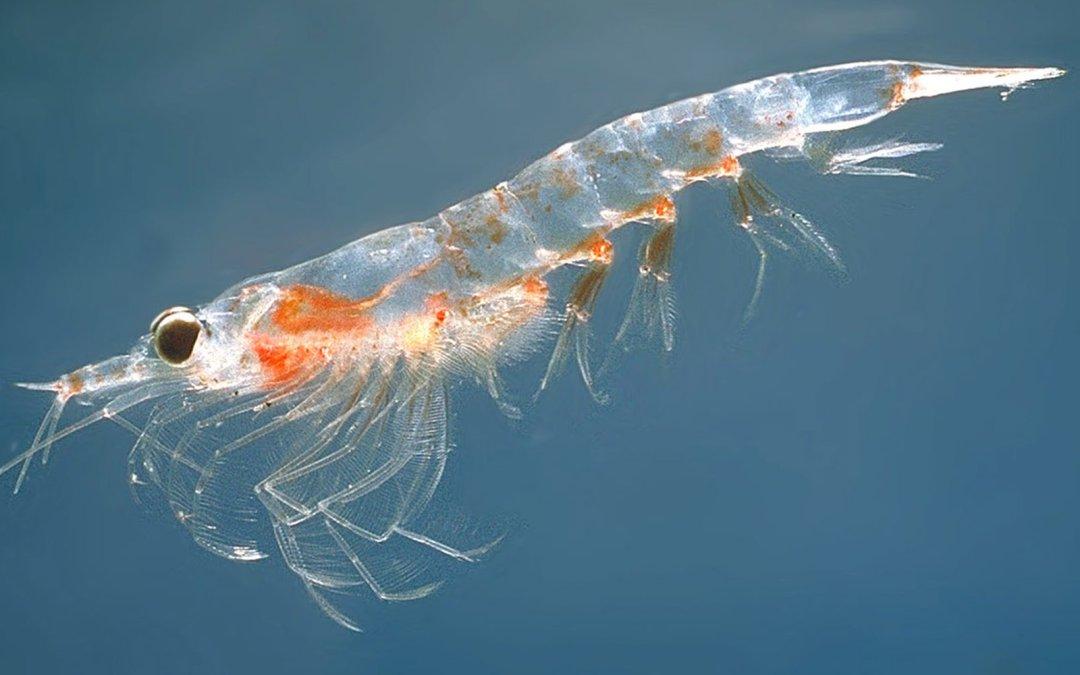 Las grasas buenas y el aceite de krill