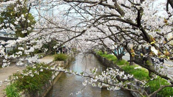 玉串川桜17