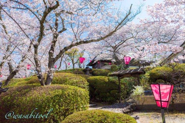 慈光苑桜21