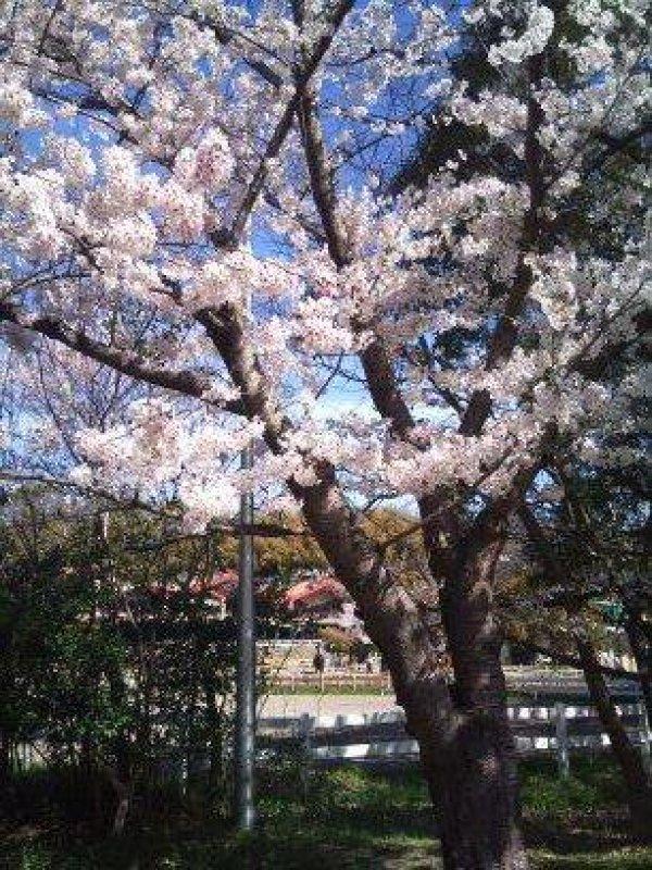 服部緑地公園桜38