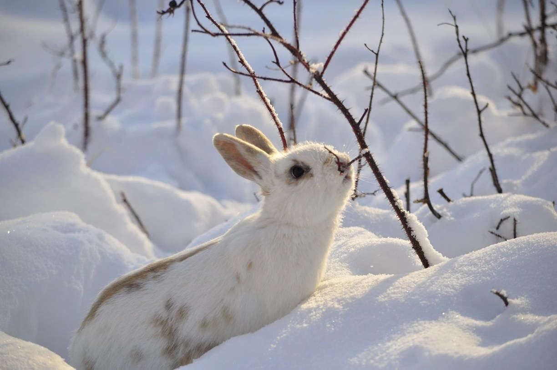 lièvre blanc sur la neige
