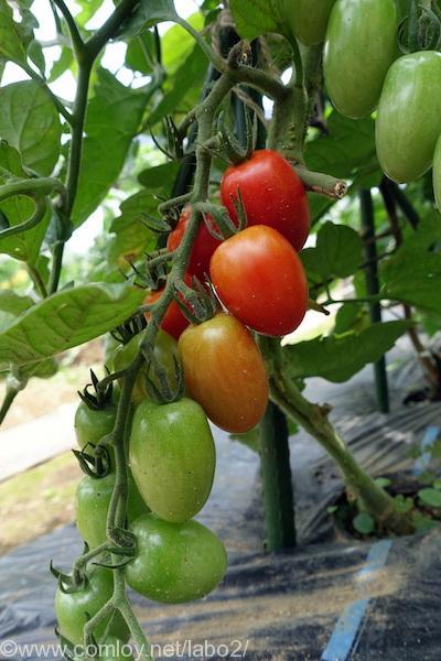 3畝のミニトマト