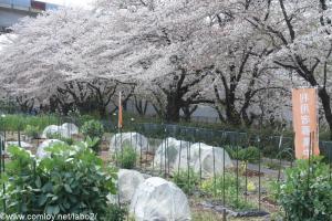 桜並木と農園