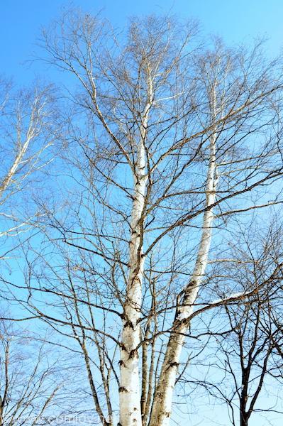 真っ白な白樺と空の青