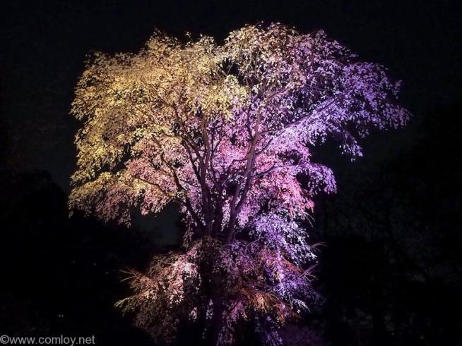 六義園 しだれ桜 ライトアップ