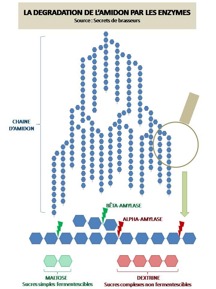 La dégradation de l'amidon par les enzymes brassage biere