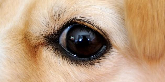 Un oeil de chien vu de près