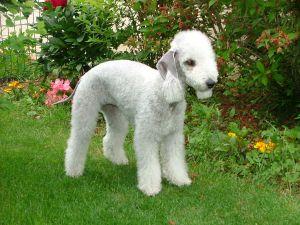 Bedlington terrier - Chien hypoallergène