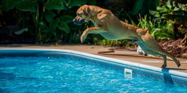 Un chien saute à l'eau dans une piscine