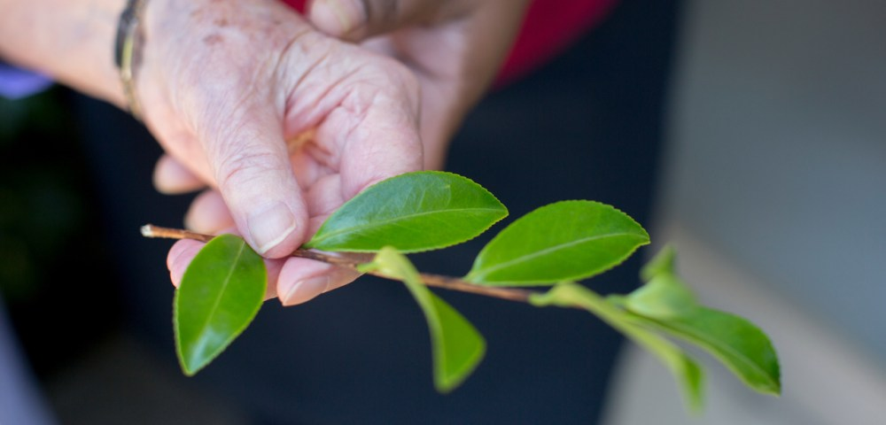 Hands holding leaf for marketing photography for aged care facility