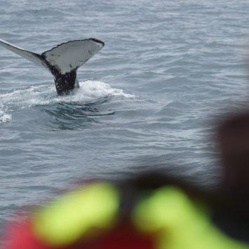 Islande jour 8 : Baleines, canyon d'Ásbyrgi et Dettifoss