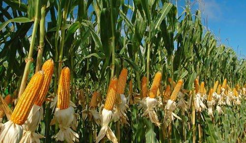 Maize-farm.jpg