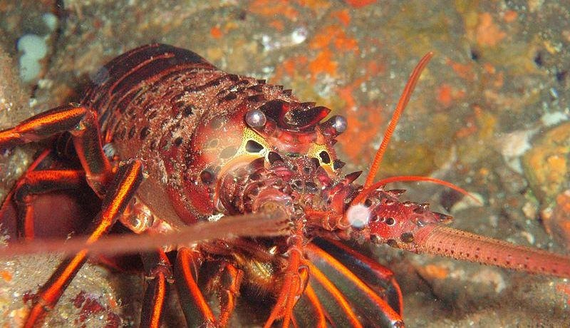 A close-up photograph of a Panulirus interruptus Spiny Lobster on a rocky reef in California.
