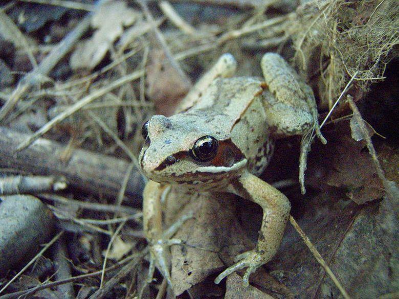 Photograph of a freeze tolerant wood frog (Rana sylvatica)
