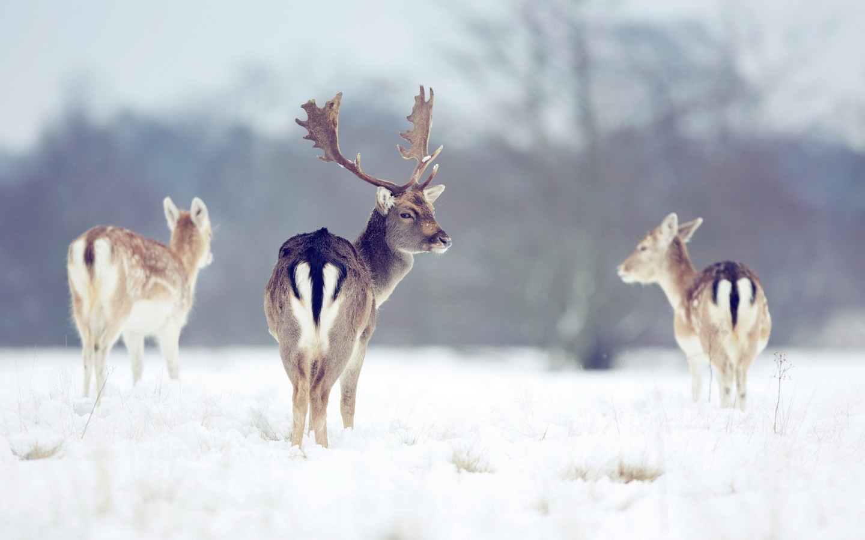 Fallow deer (Dama dama) in the snow at Klaarfontein Guest Farm