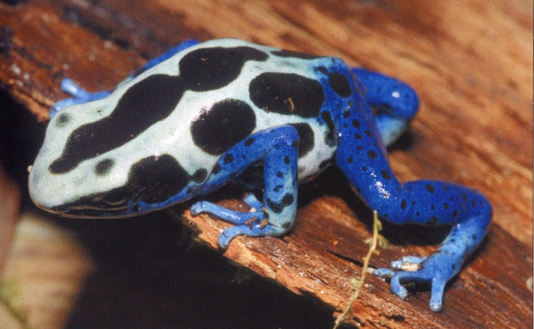 Dendrobates tinctorius morph, French Guayana