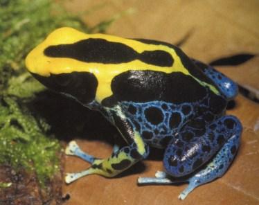 Dendrobates tinctorius morph, Brazil. Image: K.H. Jungfer
