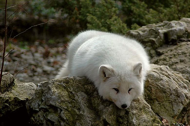 Arctic fox (Vulpes lagopus) resting on a rock