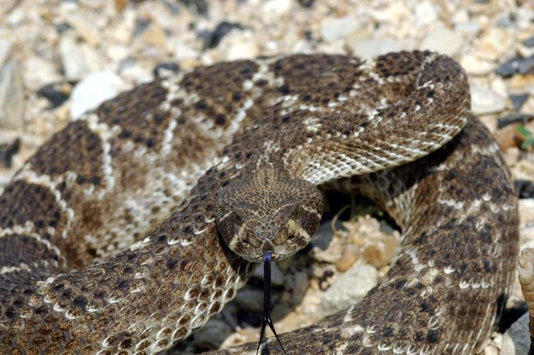 Western Diamondback Rattlesnake (C. atrox) coiled in an agitated posture.