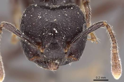 Crematogaster mimosae ant head view