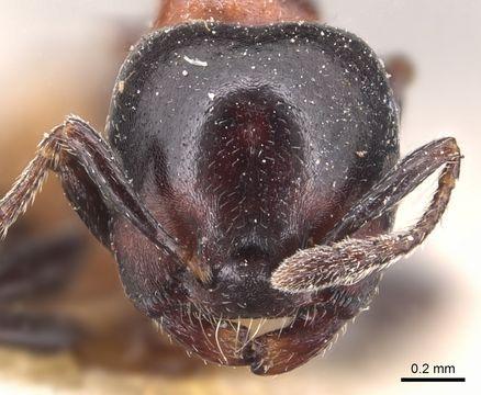 Crematogaster nigriceps ant head view