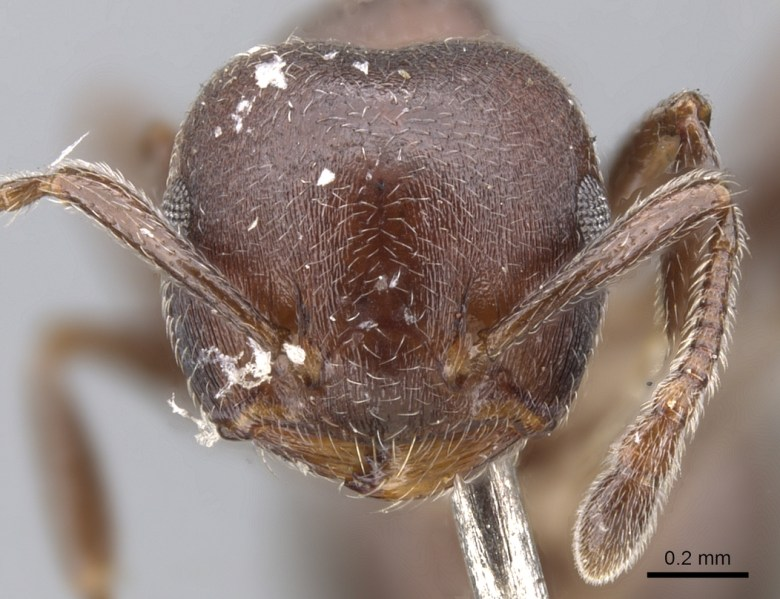 Crematogaster gerstaeckeri sjostedti ant frontal head view scientific photograph.Tetraponera penzigi ant frontal head view scientific photograph. These ants are mutual symbionts of whistling thorn acacia trees.