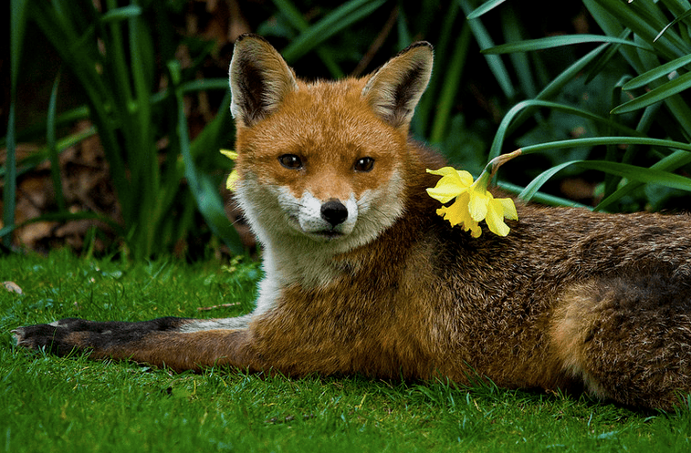 Red fox laying down in yard among flowers and grass.