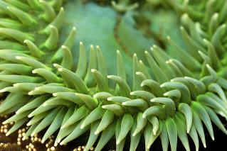 Anthopleura xanthogrammica. Source: http://goo.gl/U8mdXR