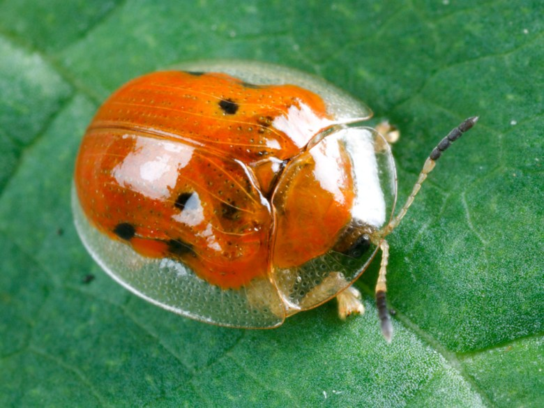 Dorsal view of a golden tortoise beetle Charidotella sexpunctata with red coloration with black spots