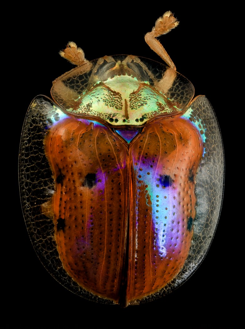 Golden tortoise beetle Charidotella sexpunctata specimen photograph dorsal view with high resolution details of the elytra and coloration.