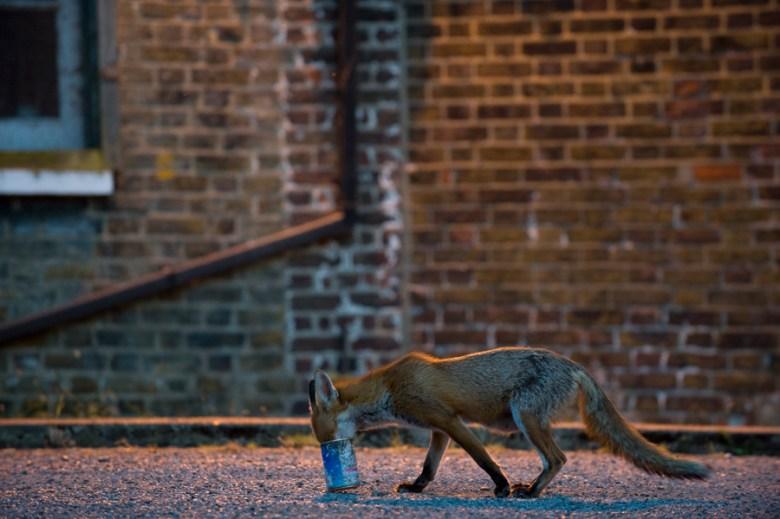 Urban fox (Vulpes vulpes) in London