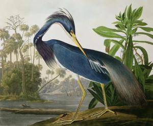 "Audubon's ""Lousiana Heron"""