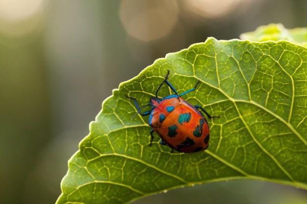 Tectocoris diophthalmus (Cotton Harlequin Bug) Photo: Sam Collins (http://goo.gl/LvVOZ6)