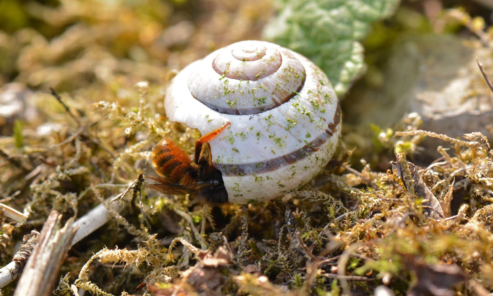Osmia bicolor bee preparing a nest in a discarded snail shell