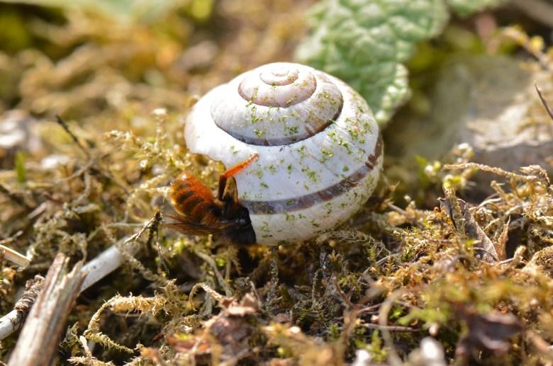 Osmia bicolor mason bee preparing a nest in a snail shell