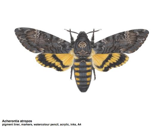 Acherontia atropos illustration by Carim Nahaboo
