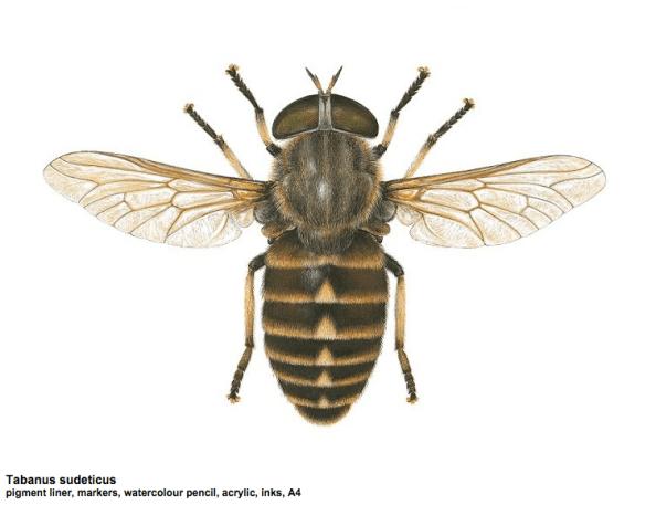 Tabanus sudeticus illustration by Carim Nahaboo