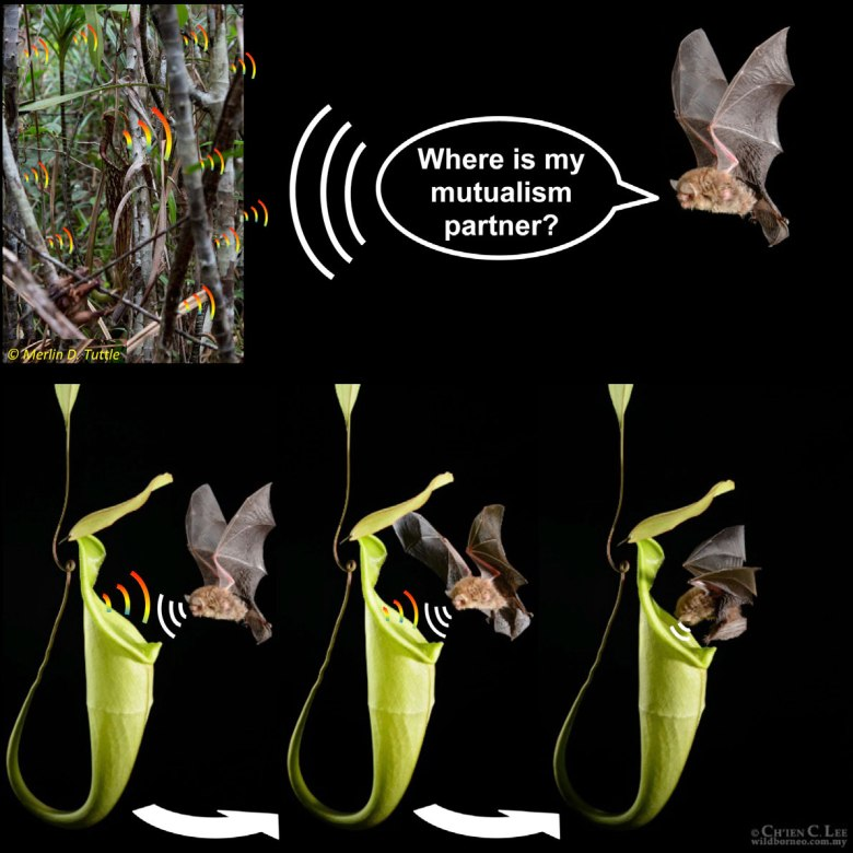 A scientific graphic showing how Nepenthes acoustically attract mutualistic wooly bats
