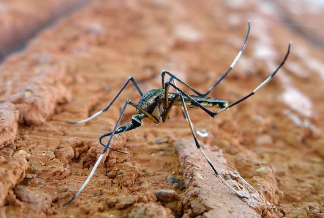 Toxorhynchites speciosus in New South Wales, Australia