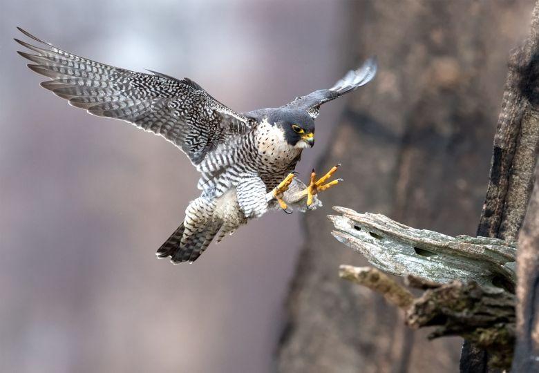 Peregrine falcon landing