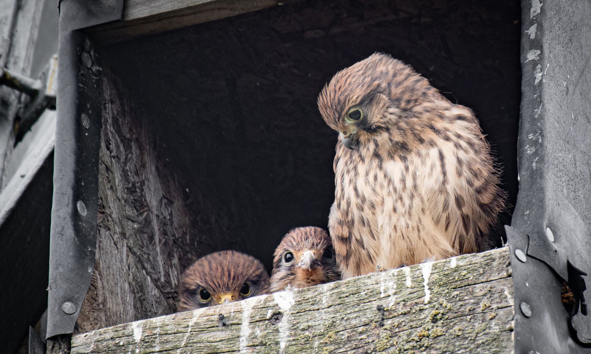 A female kestrel guards two of her young