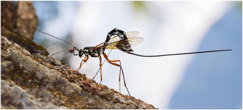 Dendrochernes cyrneus pseudoscorpion hitchhiking on the antenna of a Rhyssa persuasoria wasp