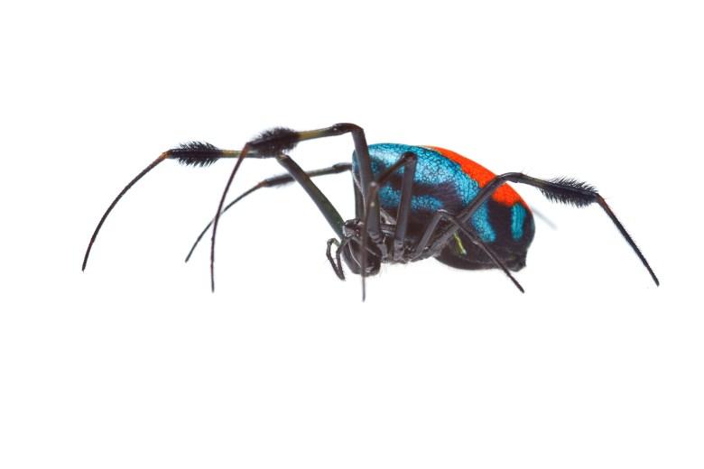 Female Opadometa sarawakensis live specimen