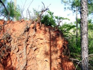 Georgia red clay covers the roots of a loblolly pine in Chattahoochee Hills, Georgia.