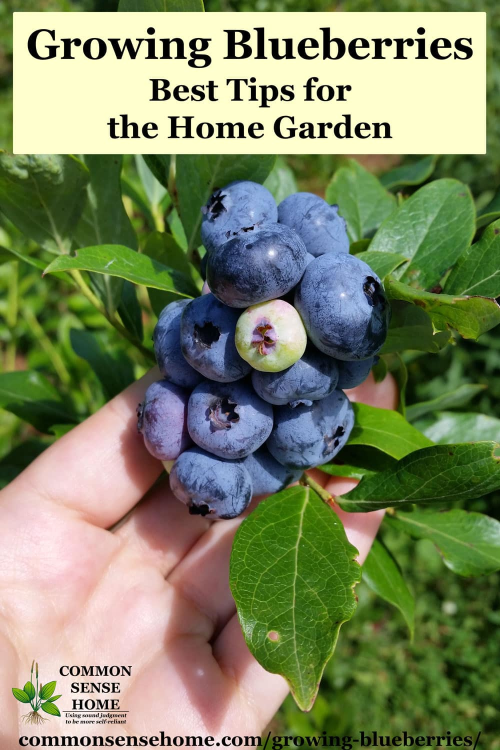 Growing Blueberries Best Tips For The Home Garden
